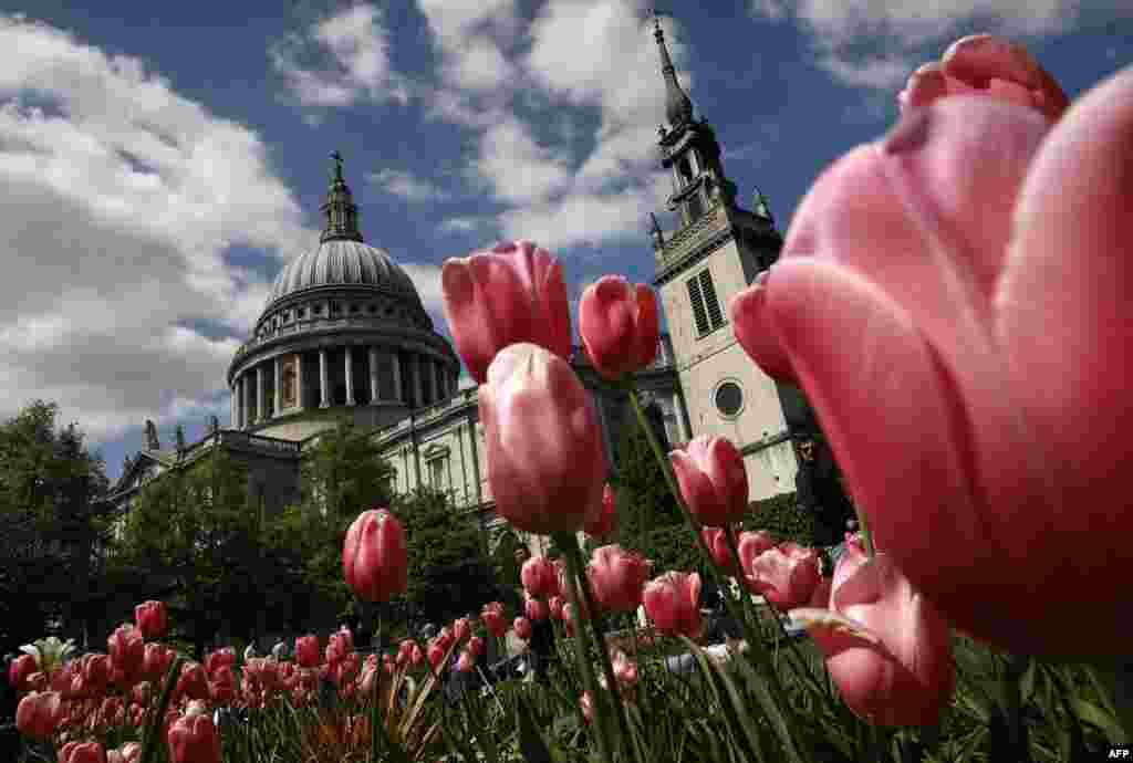 لاله ها در باغ مقابل کلیسای جامع سنت پال در لندن