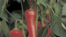 Growing Chili Peppers: A Heated Subject