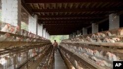 印度的鸡蛋大多数产自密集饲养而不是散养的鸡,大多数发展中国家都开始进行密集饲养。
