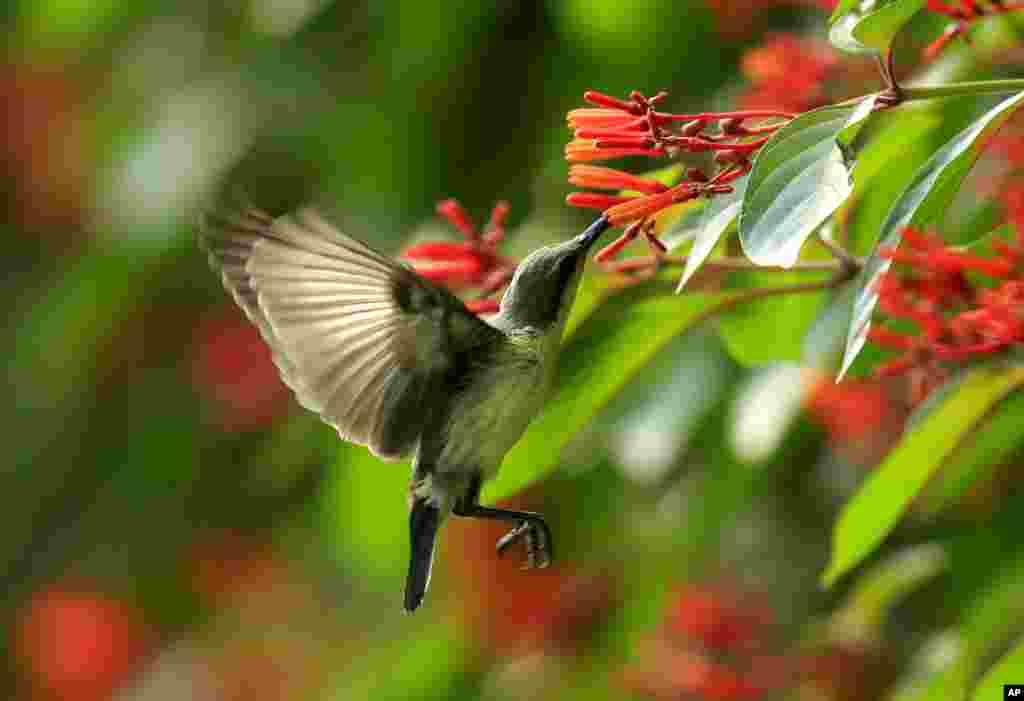 Seekor burung menghisap nektar dari bunga di sebuah kebun di kota Allahabad, India.