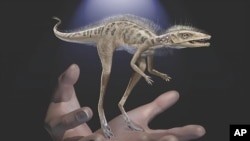 This illustration provided by the American Museum of Natural History in July 2020 depicts a Kongonaphon kely, a newly described reptile near the ancestry of dinosaurs and pterosaurs, shown to scale with human hands.