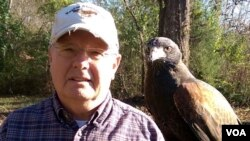 Don Hervig with one of his Harris' hawks. One of the easiest raptors to train and the most social, they are now the most popular hawks in falconry in the West. (M. Osborne/VOA)