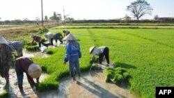VN qua mặt Thái Lan, trở thành nước xuất khẩu gạo nhiều nhất thế giới