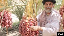 د کرنې وزارت وايي چې د افغانستان د خرما کیفیت، د ګاونډویو هېوادونو د خرما تولیداتو په پرتله ښه ثابت شوی.