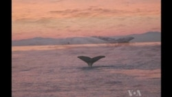 Whale Sightings Break Record in Southern California