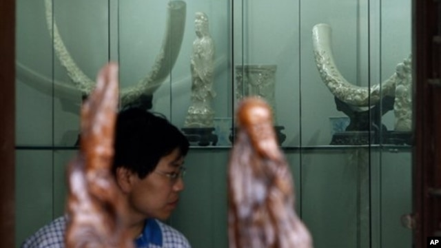 A Chinese man looks at the elephant ivory carvings on display for sale in Beijing, China, July 17, 2008.