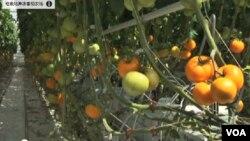 這些黃色番茄是垃圾站滋養下的產品。