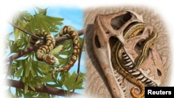 An artist rendering from oldest-known snake fossils shows Paleo reconstructions of three Jurassic to Lower Cretaceous snakes: Portugalophis lignites from Upper Jurassic period in a ginko tree from the coal swamp deposits at Guimarota, Portugal (top left); Diablophis gilmorei from Upper Jurassic period, hiding in a ceratosaur skull from the Morrison Formation in Fruita, Colorado (top right) and Parviraptor estesi from Upper Jurassic/Lower Cretaceous period swimming in a freshwater lake with snails and algae from the Purbeck Limestone, Swanage, England (bottom center).