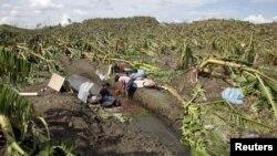 Vườn chuối trong thung lũng Composte, miền nam Philippines bị hư hại sau bão Bopja