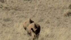 South Africa Studying Proposal to Legalize Rhino Trade