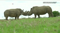 Scientists Working to Create Northern White Rhino Embryos