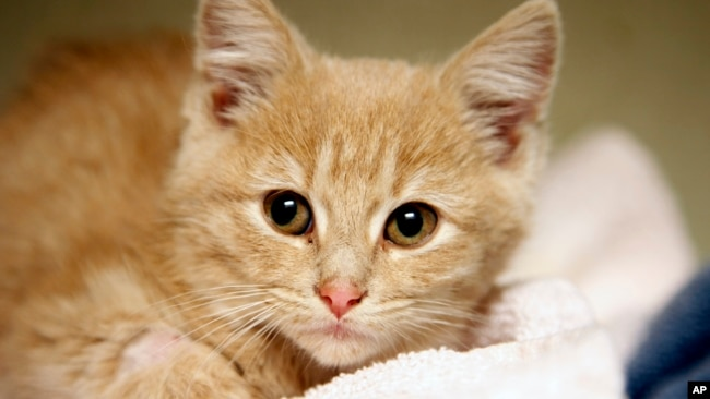 In a Friday, Nov. 14, 2014 file photo, Elsa, a kitten, recovers at the Denver Dumb Friends League animal shelter, in Denver, Colorado. (AP Photo/P. Solomon Banda)
