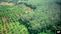 A rubber plantation at Rattanakiri province.
