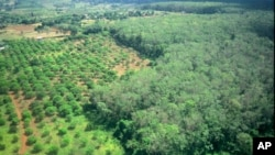 A rubber plantation at Rattanakiri province, some 325 kilometers (202 miles) northeast Phnom Penh, file photo.