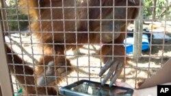 In this Feb. 21, 2012 photo, an orangutan works with an IPAD at Jungle Island in Miami.