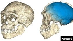 Two views of a composite reconstruction of the earliest known Homo sapiens fossils from Jebel Irhoud in Morocco, based on micro computed tomographic scans of multiple original fossils, are shown in this undated handout photo obtained by Reuters, June 7, 2