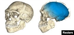 Two views of a composite reconstruction of the earliest known Homo sapiens fossils from Jebel Irhoud in Morocco, based on microcomputed tomographic scans of multiple original fossils, are shown in this undated handout photo obtained by Reuters, June 7, 2017.