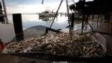 Udang ditimbang di Joshua's Marina di Buras, Louisiana (foto: ilustrasi). Badai Ida menghancurkan industri makanan laut di sana.