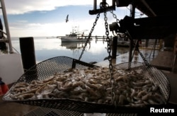 FILE - Fresh shrimp lie on a weight scale on the docks at Joshua's Marina in Buras, Louisiana, May 16, 2010.