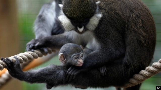 FILE - A baby guenon holds on to his mother at the Houston Zoo.