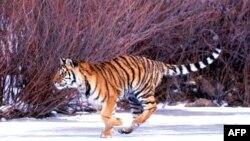 Казахстан: амурские тигры заменят каспийских