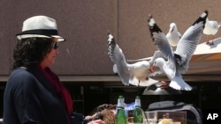 A woman watches as two seagulls fight over a chip stolen off her lunch plate in Sydney, Australia Wednesday, Nov. 6, 2013. (AP Photo/Rob Griffith)