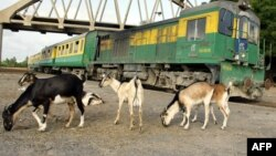 File - Goats are seen next to a train in Hanne Station near Dakar, Senegal.