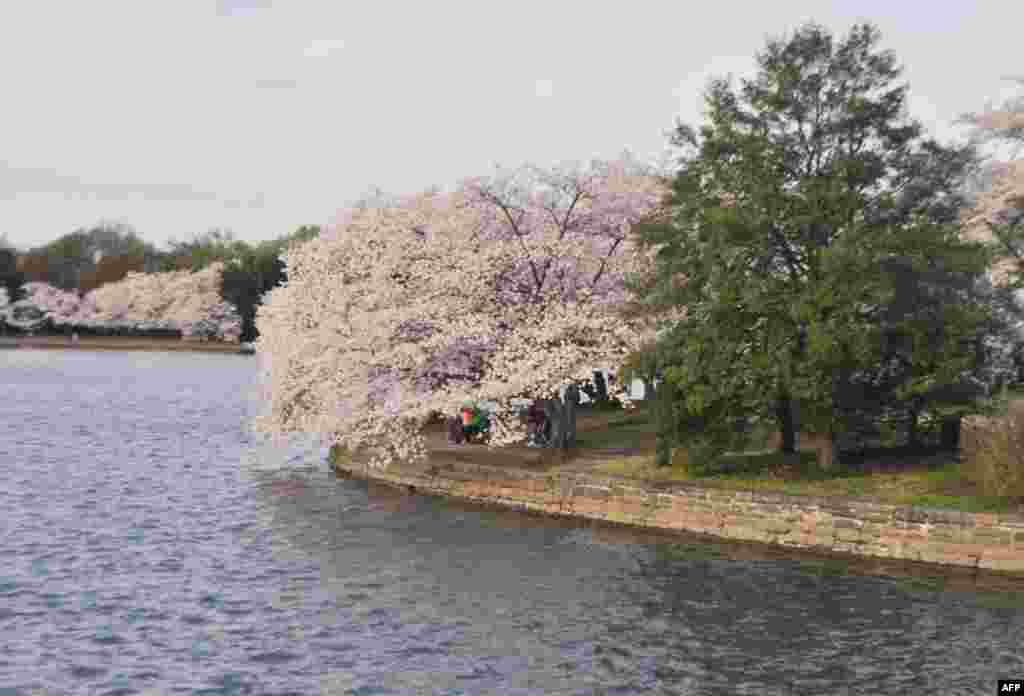 Цвітіння сакури в американській столиці
