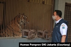 Gubernur Provinsi DKI Jakarta Anies Baswedan saat meninjau langsung perkembangan kondisi kedua harimau Sumatera di Taman Margasatwa Ragunan, Sabtu, 31 Juli 2021. (Foto: Humas Pemprov DKI Jakarta)