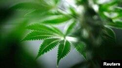 La nueva medida favorecerá a miles de personas cuyos casos por posesión de marihuana son desestimados.