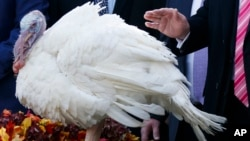 In this Nov. 21, 2017, photo, President Donald Trump pardons Drumstick during the National Thanksgiving Turkey Pardoning Ceremony in the Rose Garden of the White House in Washington. A poll shows more than a third of Americans dread the prospect of political talk over Thanksgiving.