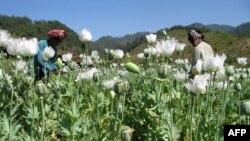 Cây thuốc phiện nở rộ trên các ngọn đồi ở bang Shan, Myanmar.