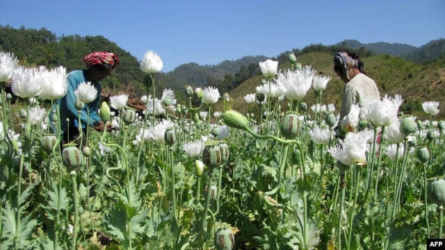 This undated handout photo received on October 31, 2012 from the U.N. Office on Drugs and Crime (UNODC) shows opium poppies in bloom in the hills of Myanmar's East Shan state.