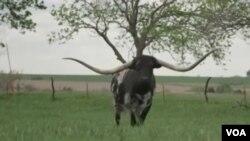 Steer