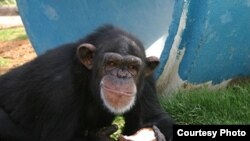 Pumpkin, a 24-year-old chimpanzee at the Alamogordo Primate Facility, N.M., loves coconuts and kiddie swimming pools. APF is a chimpanzee reserve where no research is conducted. Credit: NIH