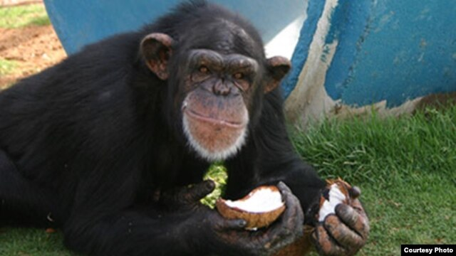 Pumpkin, a 24-year-old chimpanzee at the Alamogordo Primate Facility, N.M., loves coconuts and kiddie swimming pools. APF is a chimpanzee reserve where no research is conducted. (photo credit: NIH)