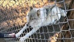 Psi-vukovi pomažu ratnim veteranima