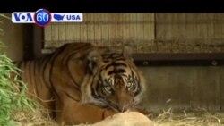 Hai con hổ Sumatra ra đời tại thủ đô Washington, Mỹ