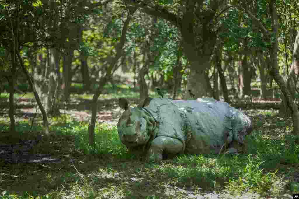 یک کرگدن تک شاخ در حال استراحت در پناهگاه حیات وحش پوبیتورا در حومه گواهاتی، هند