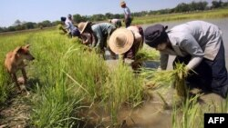 This photo taken on April 4, 2008 shows Myanmar farmers planting rice in irrigated fields in Taikkyi, about 90 kilometres north of Yangon. In the recent rice crisis, big importers like Philippines and Sri Lanka, which don't grow enough rice to meet their