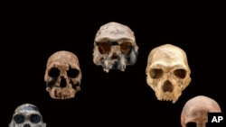 Five fossil human skulls show how the shape of the face and braincase of early humans changed over the past 2.5 million years.