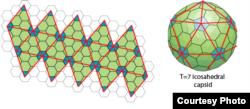 Cấu trúc với T=7 có tam giác lớn hơn. (Hình: The Viral Zone, viralzone.expasy.org)