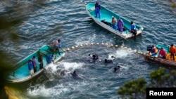 Pescadores acorraln delfines en una ensenada en Taiji, al suroeste de Japón.