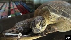 Một con rùa biển bị thương đuợc giải cứu từ những kẻ săn trộm.