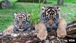 Dua bayi harimau Sumatra di Kebun Binatang Atlanta, negara bagian Georgia, untuk pertama kalinya tampil di depan pengunjung.