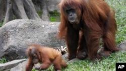 인도네시아 자바 섬 서부의 보고르 시 따만 사파리의 오랑우탄 가족. (자료사진)