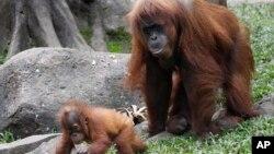 Orangutani u Indoneziji