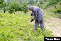 지난 2013년 북한의 특별교화소에 수감 중인 한국계 미국인 케네스 배 씨가 교화소에서 농사노동을 하고있는 모습을 재일본 조선인총연합회 기관지'조선신보'가 공개했다.