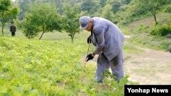 북한의 특별교화소에 수감 중인 한국계 미국인 케네스 배 씨가 교화소에서 농사노동을 하고있는 모습을 재일본 조선인총연합회 기관지'조선신보'가 공개했다.