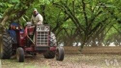 美国榛果业从美中贸易战中看到机会